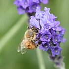 Lavender Honey by saharabelle
