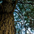 Pinus by macrocosm