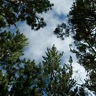 Pinus 2 by macrocosm