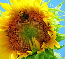 Bumble Bee on Giant Sunflower by Julijuls