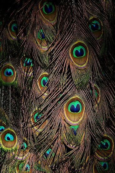 Peacock by Darren Stones
