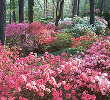Azalea Spring by islandpainter