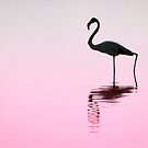 Greater Flamingo by Robbie Labanowski