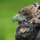Bateleur Eagle by JamieP