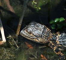 Baby Gator by Jim Roche