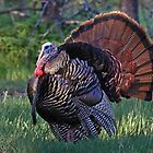 Tom Turkey - Wild Turkey by Jim Cumming