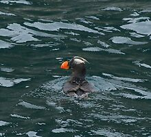 Tufted Puffin by rhonda reed