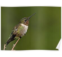 Hummingbird Perch Poster