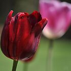 Deep Red Tulip by petejsmith