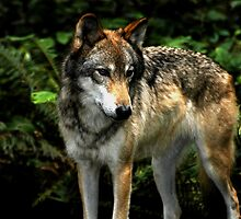 Curious Wolf (Canis lupus) by Maria A. Barnowl