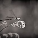 Dragonfly  by Clare Colins