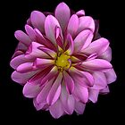 Pink /Purple Dahlia by Jeffrey  Sinnock
