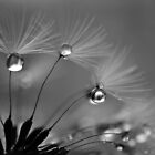 Macro Dandelion in Black and White by Glenda Williams
