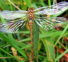 Dragonfly Sympetrum Striolatum. by Pauline Jones