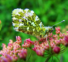 Female Orange Tip Butterfly by Pauline Jones