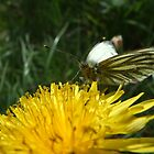 Green Veined White Butterfly by Pauline Jones