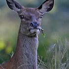 Red Deer hind by Gary Richardson