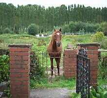 Horse at the gate by louise158