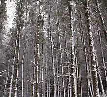 tall white pine by simonsinclair