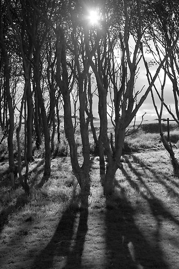 Trees at Kingsbarns by marycarr