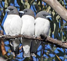 White-breasted Woodswallows ~ Out of Step by Robert Elliott