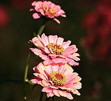 Pink Cosmos Cold Morning by Eileen McVey