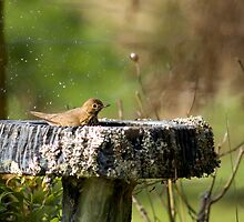 Thrush in Birdbath by Judy Harland