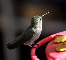ADULT ANNA'S HUMMINGBIRD ON FEEDER PERCH by JAYMILO