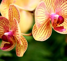 Yellow Orchids by ELBfoto