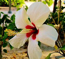 WHITE HIBISCUS WITH A RED HEART by FL-florida