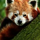 Red Panda by Moth