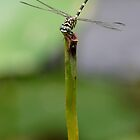 Dragonfly on a stalk by DionM