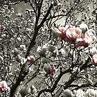 a splash of magnolia by Bente Hasler