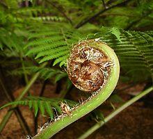 Fern Spiral  by scholara