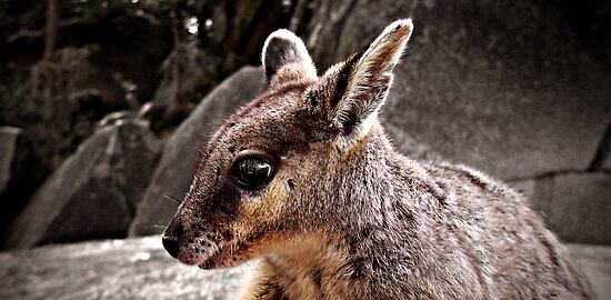 Rock Wallaby by Steven  Sandner