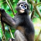 dusky langur by Tom  Cockrem