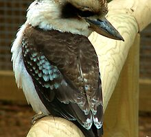 Kookaburra by Durotriges