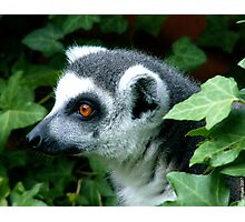 Ring-Tailed Lemur Photographic Print