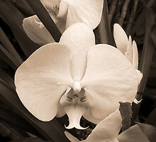 Orchids by Heather Davies