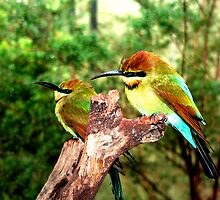 Rainbow Bee-Eaters  by Tom Newman