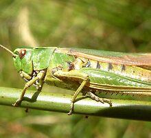 Grasshopper by iammeasiam