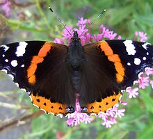 Red Admiral Butterfly by iammeasiam