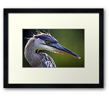 Great Blue Heron Head Shot Framed Print