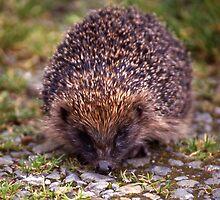 Hedgehog by Fiona MacNab