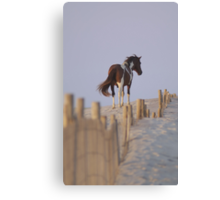 Wild Pony of Assateague Island Canvas Print