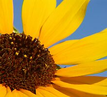 Yellow Sunflower by cshphotos