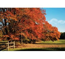 Flame Trees Photographic Print