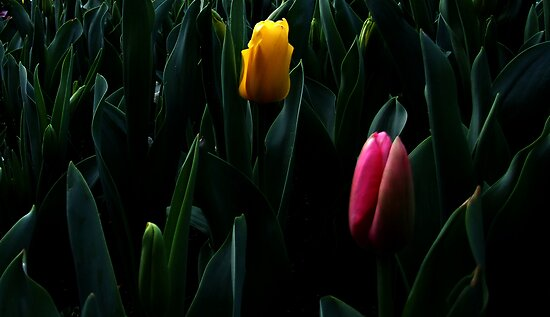 Tulips by Ben de Putron