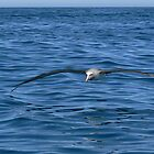 Albatross Skimming   by Larry Lingard-Davis