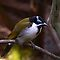 Blue-Faced Honey Eater by Tom Newman